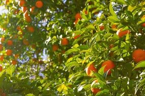 magnificent Orange Tree