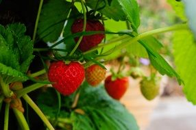 appetizing Strawberry Plant