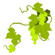 grape leaves on the vine on a white background