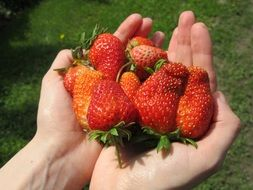strawberry fruit in man's hands