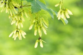 maple seeds on a tree branch