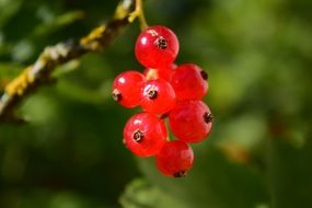 bunch of red currants on a branch