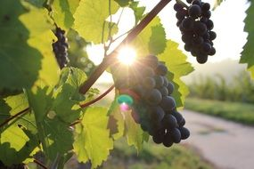 the sun behind the blue grapes
