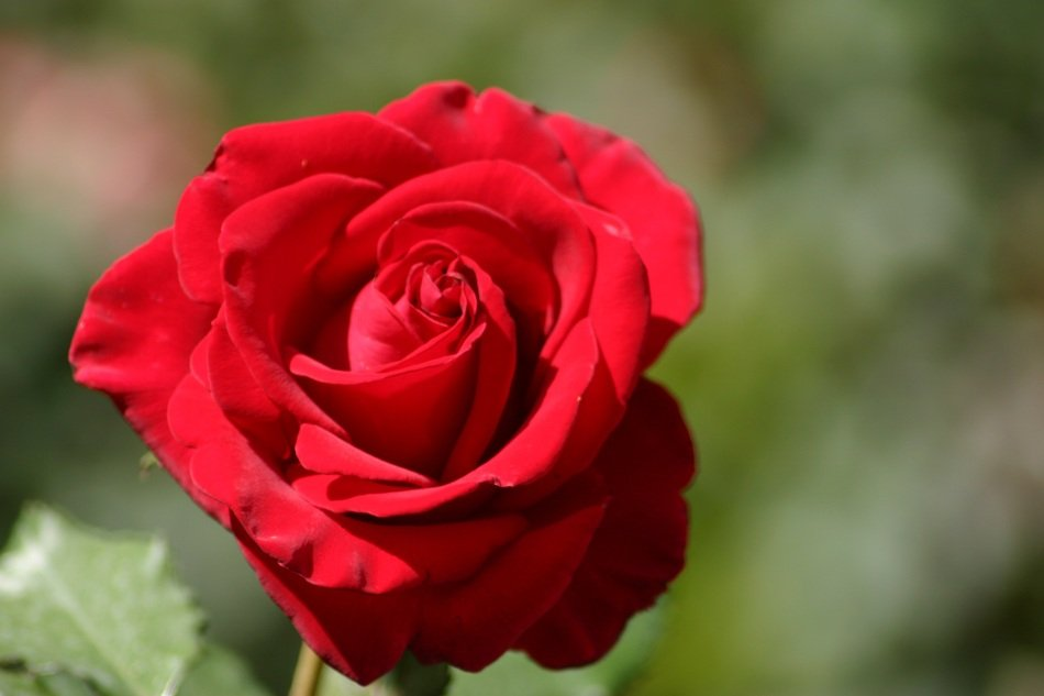 romantic red rose Bud