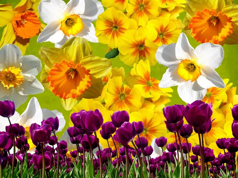 wallpaper with daffodils and tulips