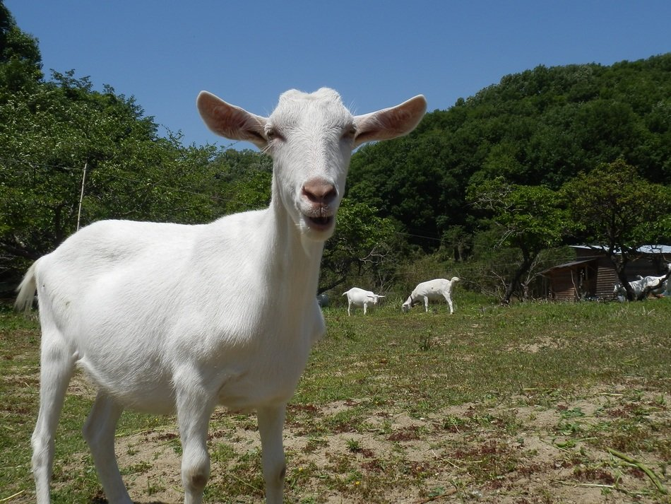 white hornless Goat looking straight on farm