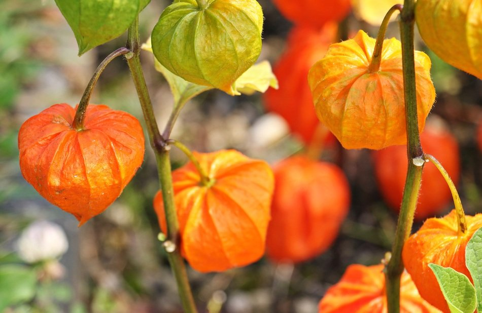 orange Physalis fruits close up