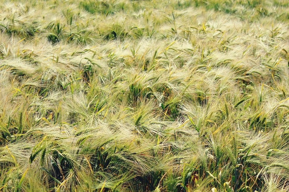 fluffy green wheat field