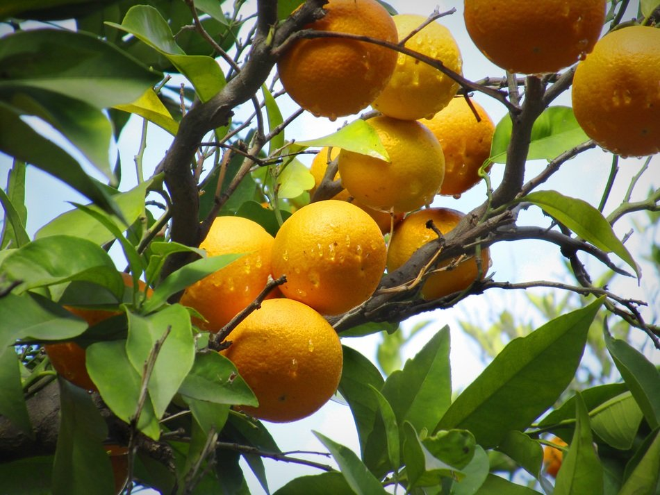 Natural Oranges on a tree