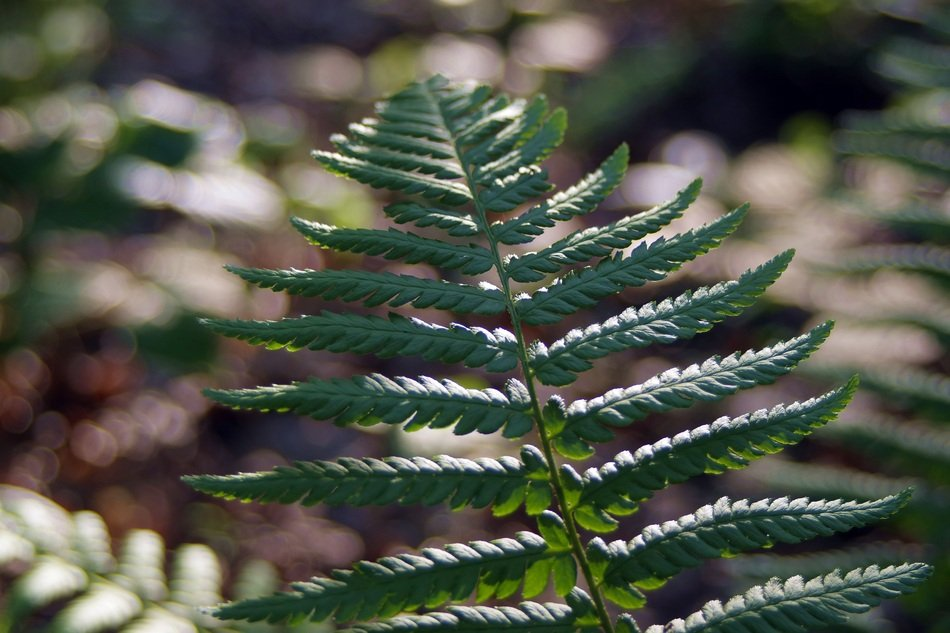 closeup view of green Fern leaves