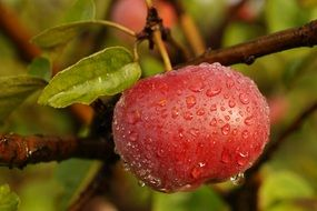 drops of dew on a red apple