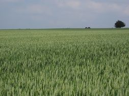 field of a green wheat