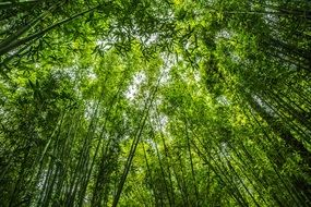 bamboo forest serenity green plant