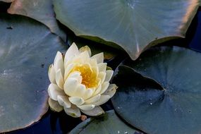 white lotus flower among green leaves on a pond