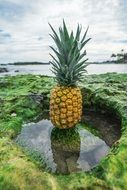 Pineapple in tropical landscape, Collage