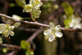 blossoming plum tree in spring