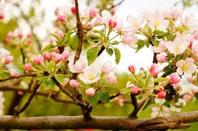 pink and white flowers on apple tree in spring