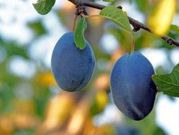 two blue plums on a tree branch