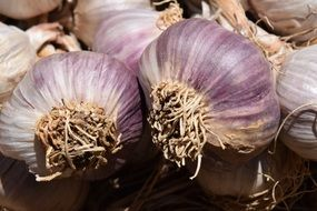 pile of purple Garlic Heads close up