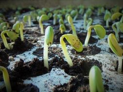 new soybean seedlings in soil