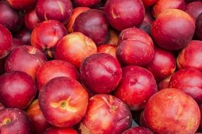 A lot of ripe sweet tasty red nectarines