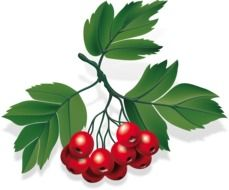 branch with red berries and green leaves