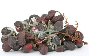 mold on dried grapes