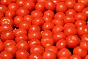 rich harvest of red tomatoes