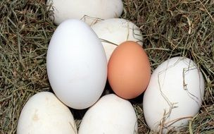 geese and hen eggs