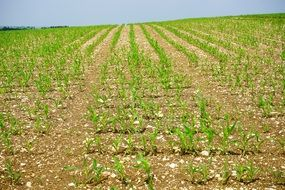 Cornfield Corn Field Arable grow