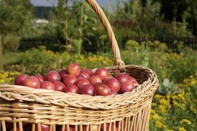 basket with young plums