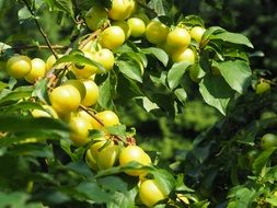 yellow plums on a branch with green leaves