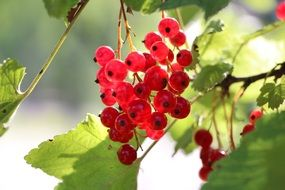 red currant on a bush with green leaves