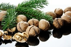 Nut Nutshells pine tree branch