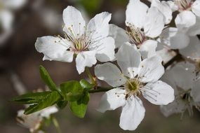 white flowers of plum tree close-up