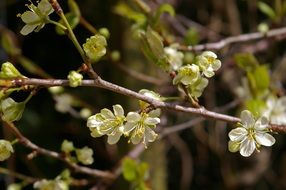 plum tree in spring