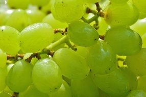 ripe green Grapes Healthy Fruit