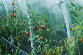 Colorful tomatoes in greenhouse