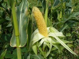 Sweet yellow corn with green leaves in a garden