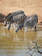 drinking zebras in South Africa