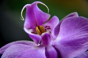 purple orchid bud close up