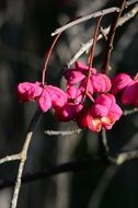 Spindle Pink Berries Fruits