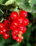 red currant on a bush close-up