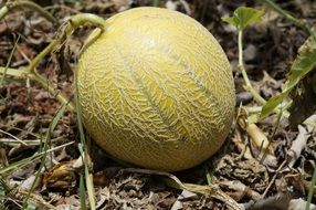ripe melon on the ground