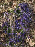 blue scented violets on dry foliage
