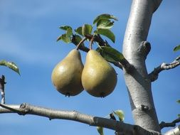 green pears on a tree branch