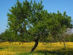 Olive Tree in Grove