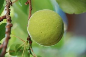 green apricot grows on a tree