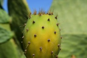 Cactus Prickly Pear close