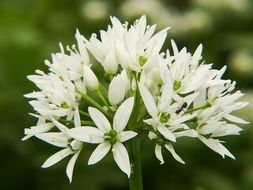 White bear's garlic flowers in spring